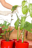 Plant care in home Stock Photos