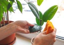 Plant care orchids. Treatment of plants against parasites. Plant care orchids. Treatment of plants against parasites Stock Photos