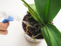Plant care orchids. Treatment of plants against parasites. Plant care orchids. Treatment of plants against parasites Royalty Free Stock Photography