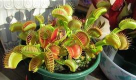 Plant, Carnivorous Plant, Houseplant royalty free stock image