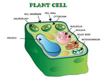 Plant cell Royalty Free Stock Photos