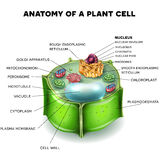 Plant Cell. Structure, cross section of the cell detailed colorful anatomy Stock Photo
