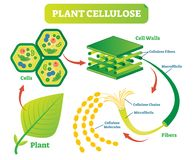Plant cellulose biology vector illustration diagram. Plant cellulose biology vector illustration diagram with plant cell walls structure and fiber scheme royalty free illustration