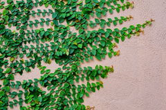 Plant on cement wall. Plant on wall blackground Royalty Free Stock Image