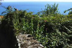 Plant of centranthus Stock Photos