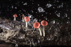 Plant champagne mushroom  in rain forest, Thailand. Royalty Free Stock Photos