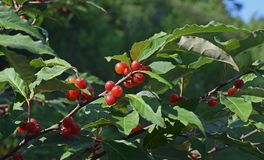 Plant, Cherry, Aquifoliaceae, Buffaloberries stock image