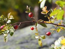 Plant, Cherry, Berry, Rose Hip stock photography