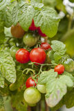 Plant with cherry tomatoes Royalty Free Stock Images