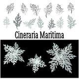 Plant Cineraria Maritima, Set Stock Image