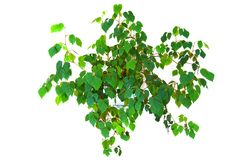 Plant cissus rhombifolia Royalty Free Stock Photography