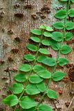 Plant climbing. Close up picture of tiny plant on the another tree. Plant climbing. Close up picture of tiny plant on the another tree trunk Royalty Free Stock Photography