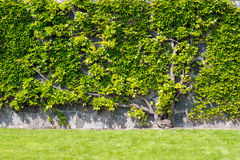 Plant climbing on the wall with bright green leaves Stock Images