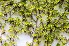 Plant climbing on the wall with bright green leaves Stock Image