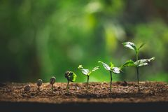 Free Plant Coffee Seedlings In Nature Close-Up Of Fresh Green Plant Royalty Free Stock Photo - 113304985