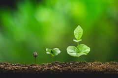 Free Plant Coffee Seedlings In Nature Close-Up Of Fresh Green Plant Royalty Free Stock Photography - 119869047