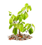 Plant with coins. Royalty Free Stock Photo