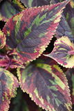 Plant coleus blumei combat. Multicolored Stock Images