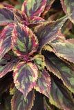 Plant coleus blumei combat Royalty Free Stock Photo