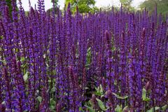 Plant, Common Sage, Purple, English Lavender royalty free stock photography