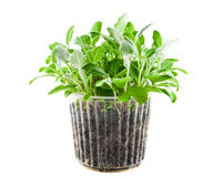 Plant in container. Green plant in container isolated on white Stock Photo