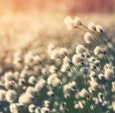Plant cotton grass. Stock Image