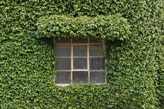 Plant covered building. A window is the only thing not covered in plant leaves on this building engulfed by this green plant Stock Image
