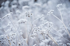 Plant covered with frost Royalty Free Stock Image
