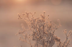 Plant covered with hoarfrost Royalty Free Stock Photos