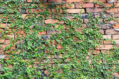 Plant Covered Red Brick Wall. Red Brick Wall Covered by a Green Leafy Plant Royalty Free Stock Photos