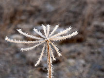 Plant covered in rime frost Royalty Free Stock Images