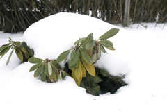 Plant Covered With Snow Royalty Free Stock Image