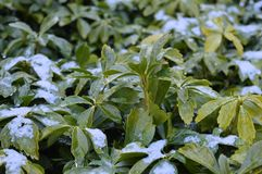 Plant covered with snow and rain Royalty Free Stock Photos