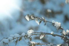 Plant covered by snow in sunny winter day Stock Photos
