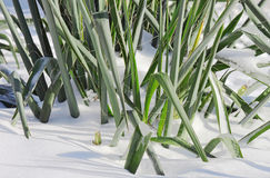 Plant covered with snow Royalty Free Stock Photos