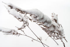 plant covered with snow, winter background Stock Image