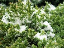 The plant is covered with white fluffy snow. The plant is covered with snow, after a long cold winter. Evergreen beautiful plant that does not change the Royalty Free Stock Photography