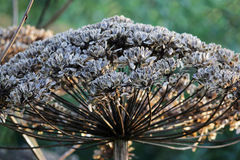 Plant cow-parsnip Sosnovsky Heracleum with seeds in autumn. Plant cow-parsnip Sosnovsky Heracleum with seeds in autumn stock image