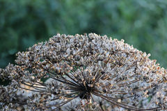 Plant cow-parsnip Sosnovsky Heracleum with seeds in autumn. Plant cow-parsnip Sosnovsky Heracleum with seeds in autumn royalty free stock image