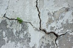 The plant in a crack. Plants grow in a cracked gray wall background royalty free stock image
