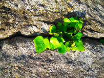 Plant on cracked stone Royalty Free Stock Images