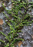 Plant crawling on Kauri tree. Plant crawling on the bark of Kauri tree Royalty Free Stock Photography