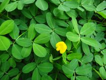 Plant of the creeping peanut with small yellow flower. The creeping peanut is a genus of flowering plants in the family Fabaceae, with small yellow flowers, and Stock Image