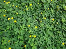 Plant of the creeping peanut with small yellow flowers. The creeping peanut is a genus of flowering plants in the family Fabaceae, with small yellow flowers, and Royalty Free Stock Photo