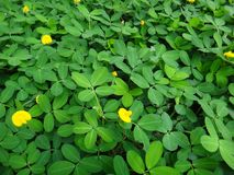 Plant of the creeping peanut with small yellow flowers. The creeping peanut is a genus of flowering plants in the family Fabaceae, with small yellow flowers, and Stock Photography