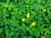 Plant of the creeping peanut with small yellow flowers. The creeping peanut is a genus of flowering plants in the family Fabaceae, with small yellow flowers, and Royalty Free Stock Images