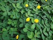 Plant of the creeping peanut with small yellow flowers. The creeping peanut is a genus of flowering plants in the family Fabaceae, with small yellow flowers, and Stock Photo