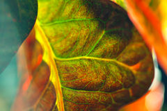 Plant Croton. Stock Photos
