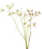 Plant cumin. Fresh plant of unripe cumin on white background Royalty Free Stock Images