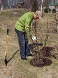 Plant currant bush Stock Images